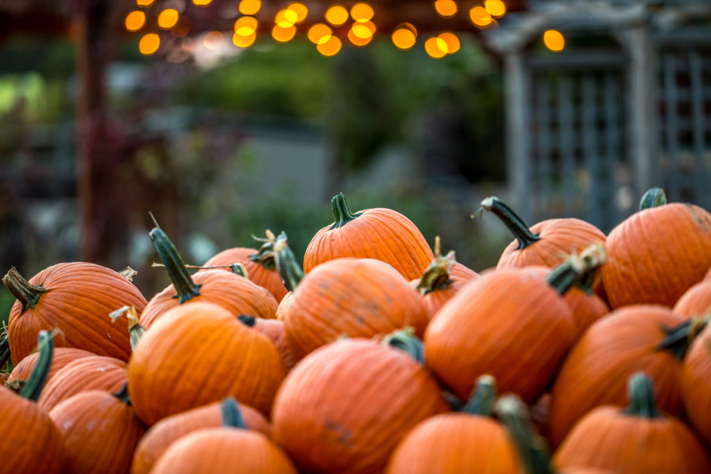 Gorgeous Pumpkin patch with twinkle light bokeh at dusk